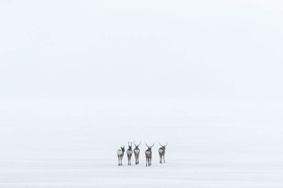 Ciervos Sika alejandose en la niebla buscando refugio