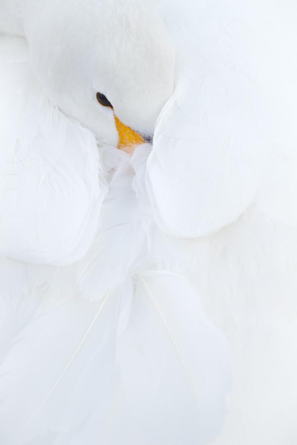 El pelaje especialmente blanco es una de las caracteristicas de los Cisnes Whooper