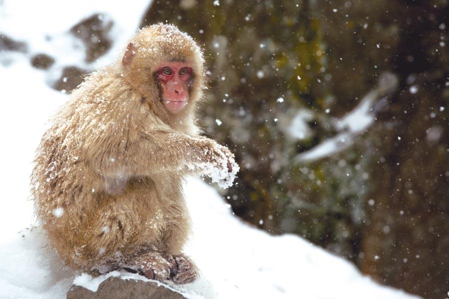 Joven macaco en el parque Jigokudani Monkey