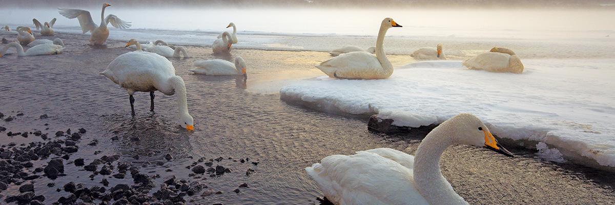 Los-Cisnes-Whooper-disfrutan-de-las-aguas-templadas-del-lago-Kussharo
