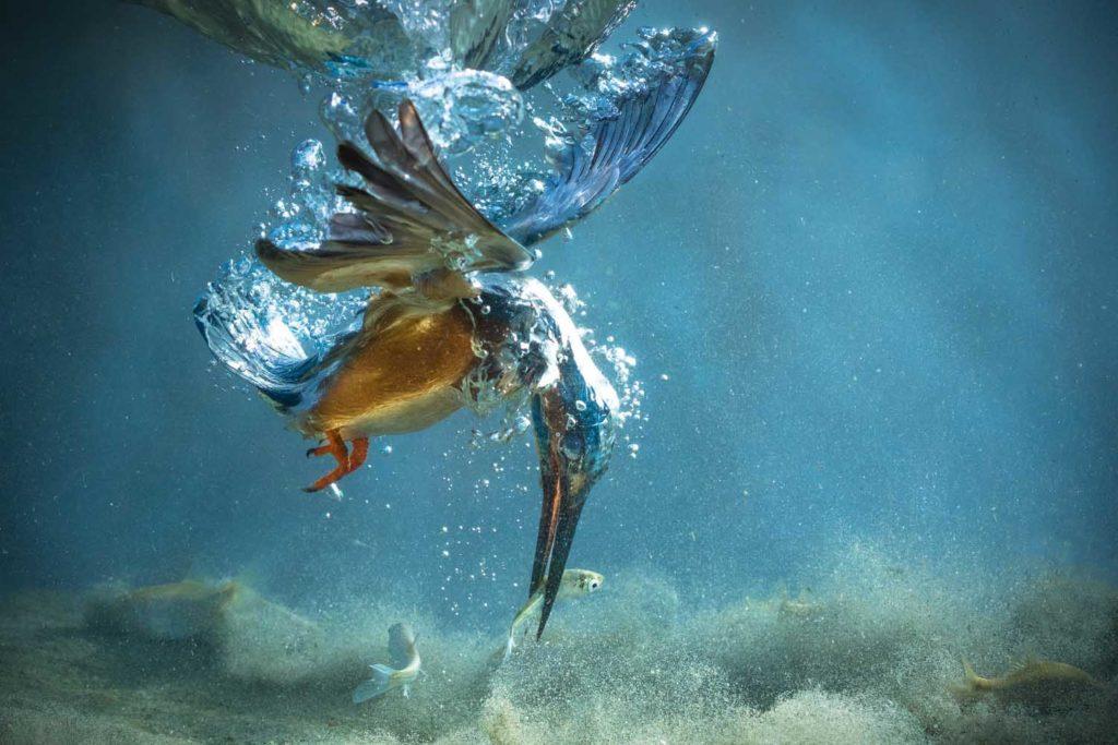 The kingfisher, El rey pescador, la fotografia que sin duda cambio mi vida2